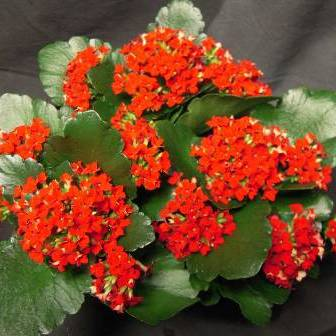 Kalanchoe-Red-enlarge