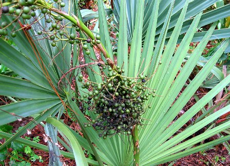 Sabal – Saw Palmetto