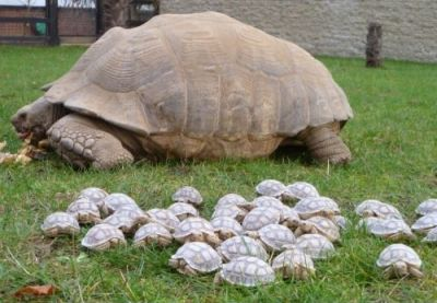 Turtle-mother-has-her-handful